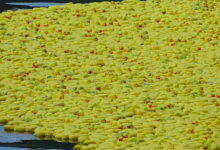 Photo of ALÈS La Duck Race reviendra sur le Gardon le samedi 20 juin