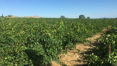 Photo of GARD Les vendanges s'annoncent moroses